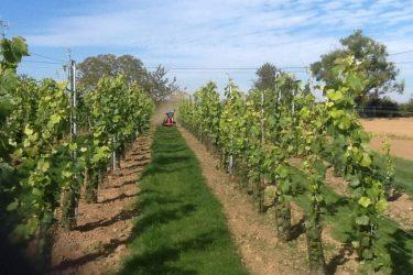 2015 september wijnranken