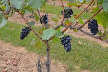 2016 druiven aanplant 2015