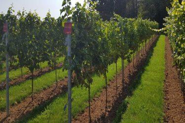 2018 september Pinot Blanc