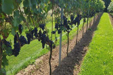 2018 september Pinot Noir