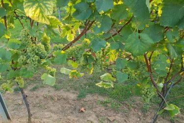 2019 september Pinot Blanc