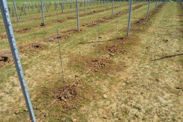Den Eeckhout wijngaard druivelaar geplant