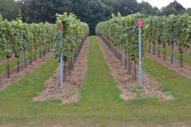 Wijngaard Den Eeckhout aanplant 2015 september 2016