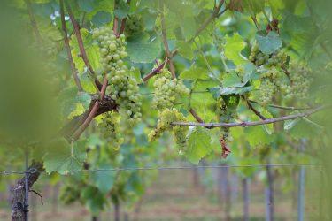 Den Eeckhout de wijngaard 2020
